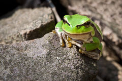 Rana verde de la curiosidad en una roca Imagen de archivo libre de regalías