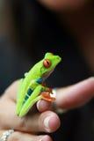 Rana verde de la hoja Fotos de archivo