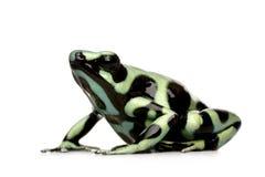 Rana verde e nera del dardo del veleno - aur di Dendrobates Fotografia Stock Libera da Diritti