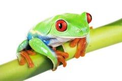 Rana verde en bambú imagen de archivo