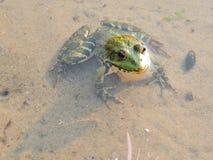 Rana verde en el agua Foto de archivo