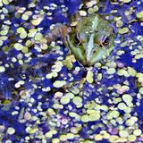 Rana verde en el lago, fotógrafo de observación Imagenes de archivo