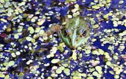 Rana verde en el lago, fotógrafo de observación Fotos de archivo