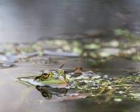 Rana verde en el pantano Imagenes de archivo