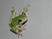 Rana verde - en Grey Background con el espacio de la copia Imagen de archivo libre de regalías