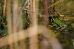 Rana verde en la charca Imágenes de archivo libres de regalías