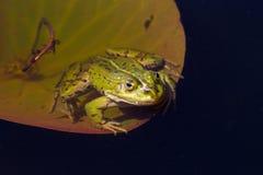 Rana verde en la charca Imagenes de archivo