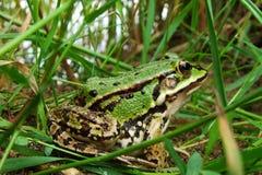 Rana verde en la hierba Fotos de archivo