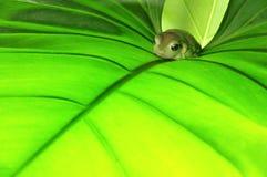 Rana verde en la hoja verde Fotos de archivo