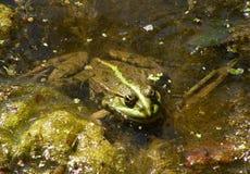 Rana verde en la piscina Fotografía de archivo