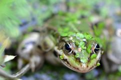 Rana verde en pantano Imagen de archivo libre de regalías