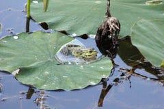 Rana verde en una hoja del loto Fotos de archivo