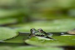 Rana verde entre las hojas del lirio de agua imagen de archivo libre de regalías