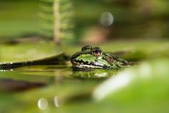 Rana verde entre las hojas del lirio de agua imagen de archivo