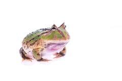 Rana verde grande Fotografía de archivo libre de regalías