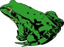 Rana verde immagine stock