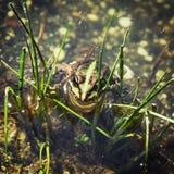 Rana verde nell'acqua Fotografia Stock Libera da Diritti