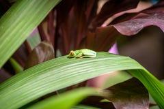 Rana verde observada rojo en hoja Imagenes de archivo