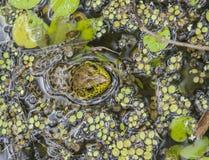 Rana verde ocultada Foto de archivo libre de regalías