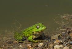 Rana verde que descansa en el borde del pantano en fango imagenes de archivo