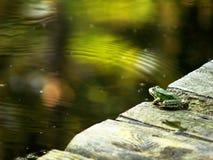 Rana verde que parece watertable Imágenes de archivo libres de regalías