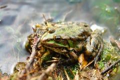 Rana verde que se sienta en agua baja Imagenes de archivo