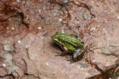 Rana verde su roccia Fotografia Stock Libera da Diritti