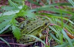 Rana verde su un'erba Fotografie Stock Libere da Diritti