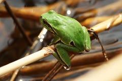 Rana verde sul ramo Immagine Stock