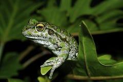 Rana verde sulla pianta Immagini Stock