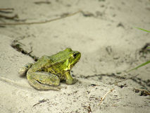 Rana verde sulla sabbia Immagini Stock