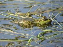 Rana verde sumergida parcialmente en agua, en el fondo de algas foto de archivo