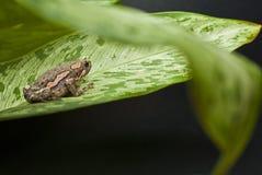 Rana verniciata asiatica Immagini Stock