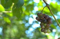rana winogronowy wilde Fotografia Royalty Free