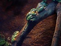 Ranas arbóreas Fotografía de archivo libre de regalías