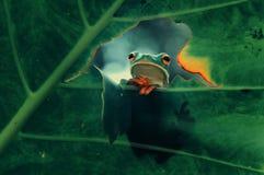 Ranas, ranas arbóreas en las hojas imágenes de archivo libres de regalías