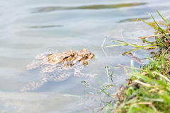 Ranas de acoplamiento en el lago Pares de sapos comunes marrones Foto de archivo libre de regalías