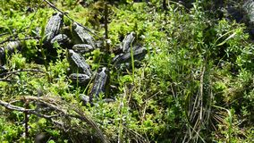 Ranas del agua en una reserva del amarrar almacen de video