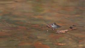 Ranas en el agua Fotografía de archivo