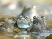 Ranas en un agua Foto de archivo libre de regalías