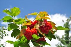 Сranberry skörd Arkivfoto