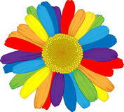 Ranbow daisy. Vector colored daisy with rainbows petals on white Stock Image
