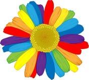 Ranbow daisy. Stock Image