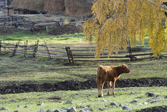 Ranch. A small village just north of most of Xinjiang, China, is called the white buses, live tuwaren, Kazak and Mongolian people Stock Images