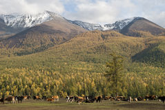 Ranch. A small village just north of most of Xinjiang, China, is called the white buses, live tuwaren, Kazak and Mongolian people Royalty Free Stock Photo