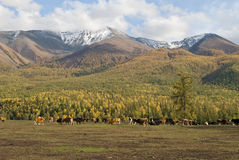 Ranch. A small village just north of most of Xinjiang, China, is called the white buses, live tuwaren, Kazak and Mongolian people royalty free stock photos