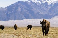 Ranch della Buffalo Fotografia Stock Libera da Diritti