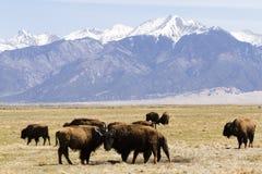 Ranch della Buffalo immagine stock