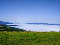 Ranch des grünen Grases mit einer Gruppe Kühen, die über den Wolken weiden stockfotos