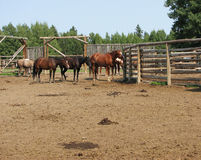 Ranch Horses. Group of Ranch horses standing leisurely in the corrals after a trail ride. Blue sky, pine trees as well as all the wooden corrals set the ranch Stock Photos